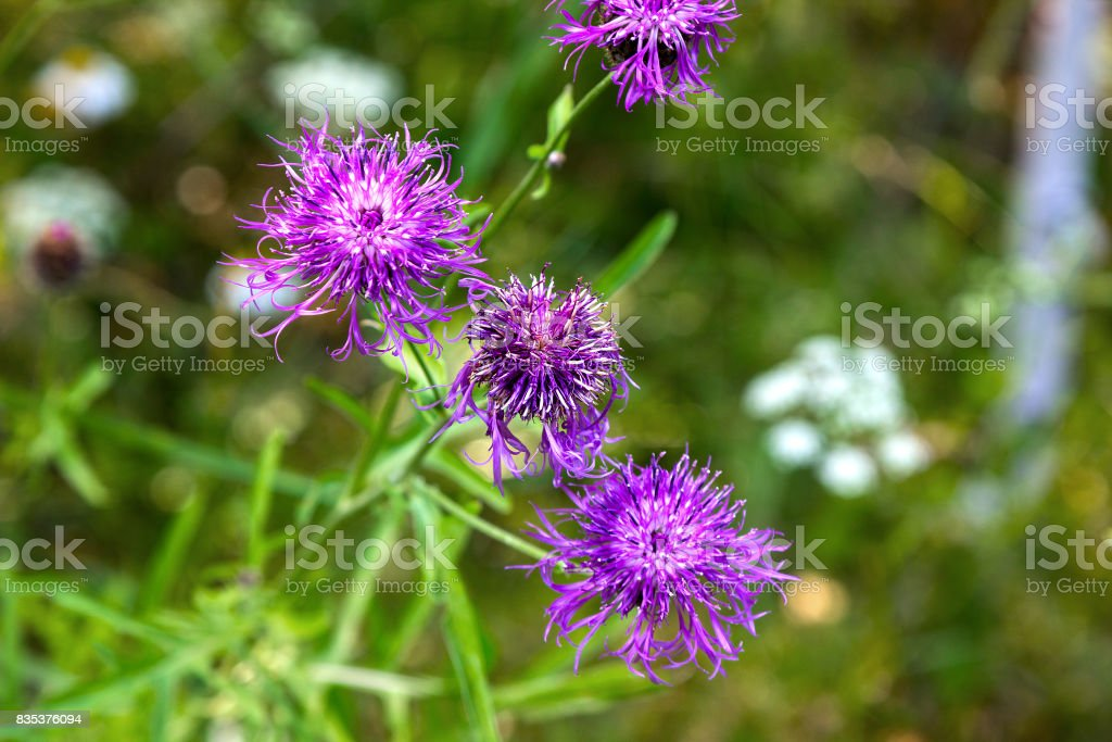 Beautiful flowers thistles stock photo
