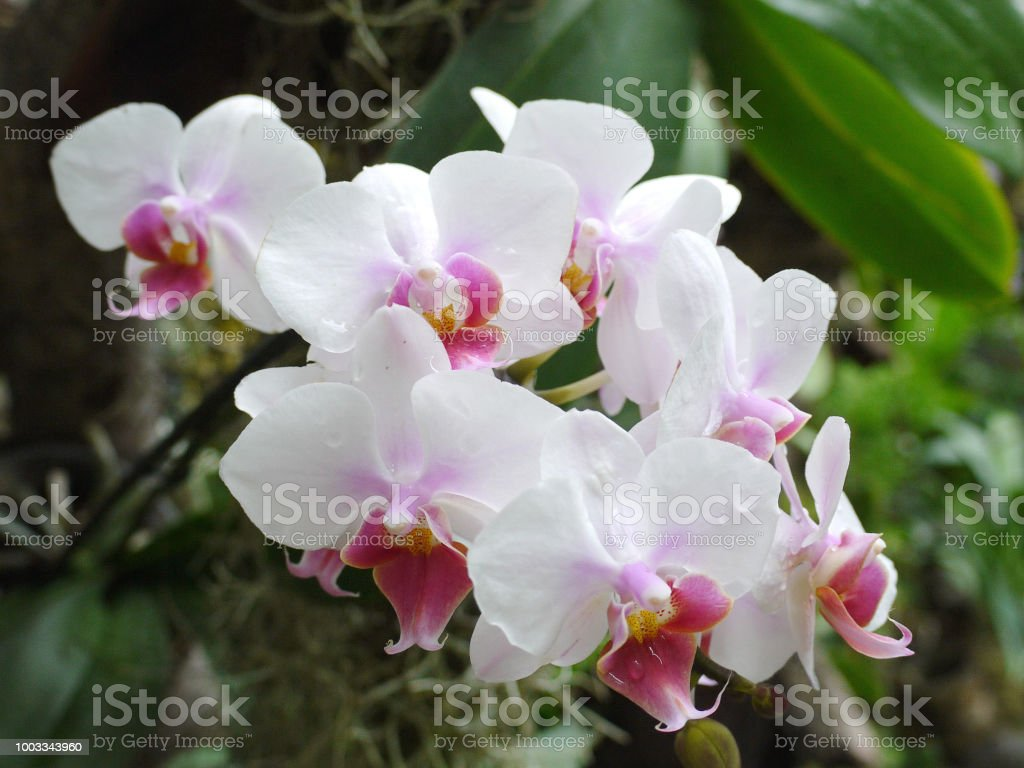 Beautiful Flowers With Delicate White Petals And Small Pink Flow