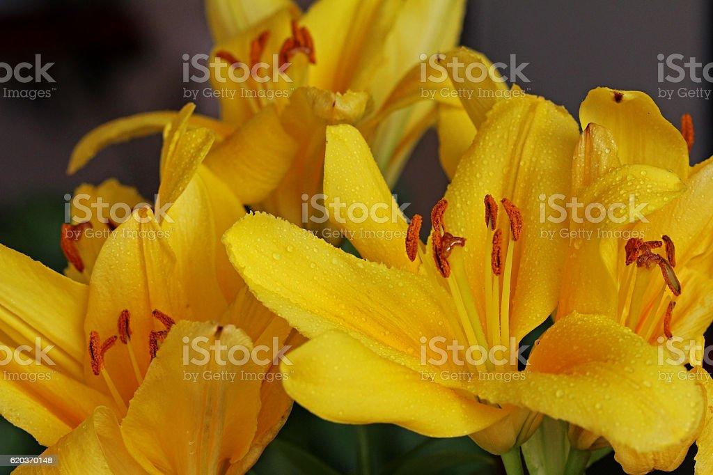 Beautiful flowers yellow lilies. foto de stock royalty-free