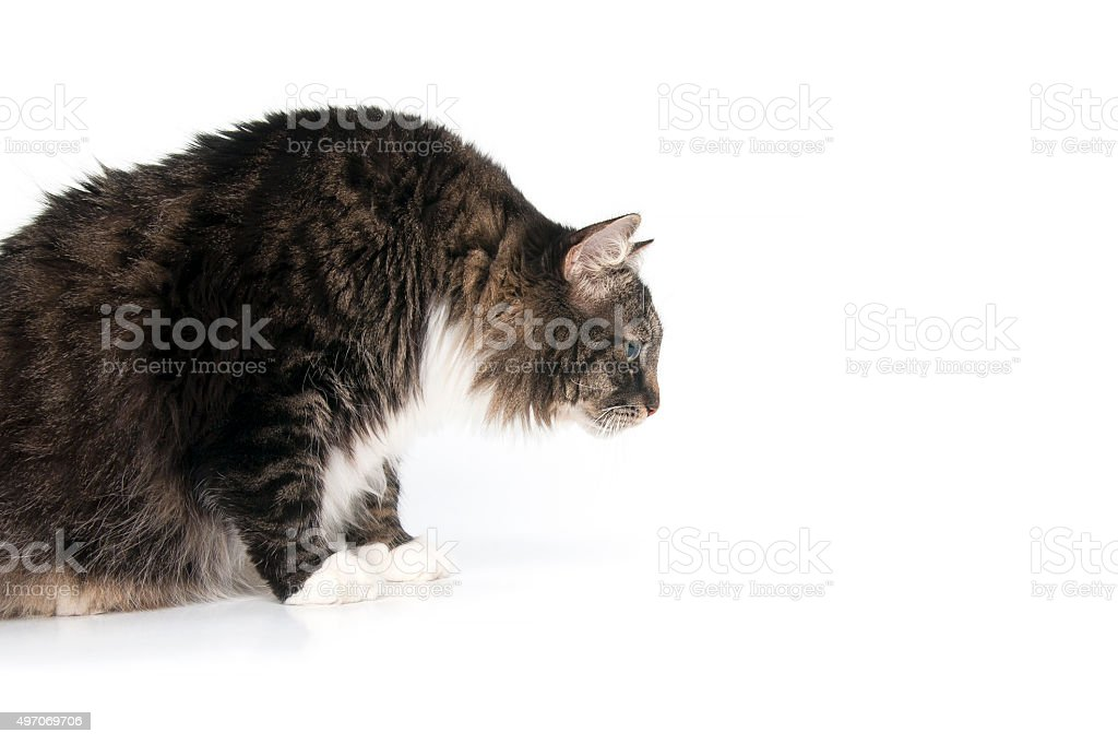 Beautiful fluffy cat looks at something on the floor. stock photo