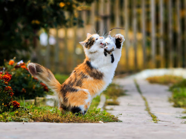 Beautiful fluffy cat playing with a caught mouse running around and picture id859799632?b=1&k=6&m=859799632&s=612x612&w=0&h=v0pcdspntsv17dmyvnys7eccdktyiywbn4rfqebe2p4=