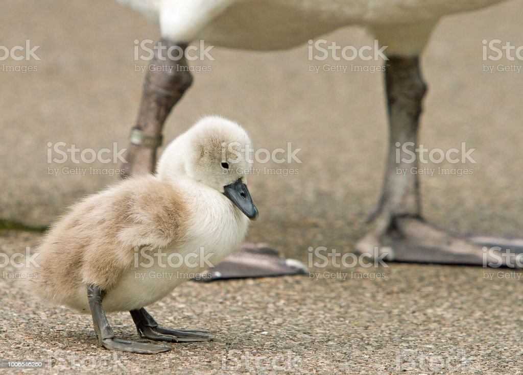 A beautiful fluffy cygnet (young swan) standing on gravel, with Mum in the background for protection stock photo
