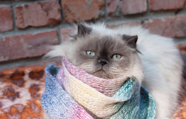 A beautiful fluffy gray cat with blue eyes froze and wrapped himself in a warm scarf. Autumn, cooling, no heating stock photo