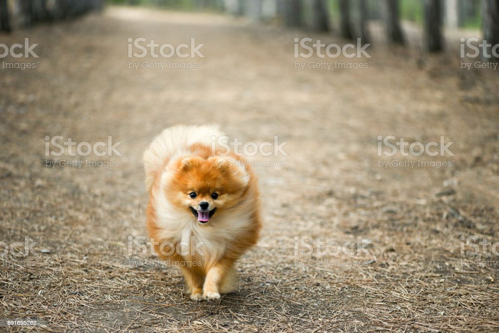 A beautiful fluffy puppy runs through a coniferous forest, Pomeranian spitz stock photo