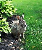 beautiful fluffy rabbit with long ears sits near a bush