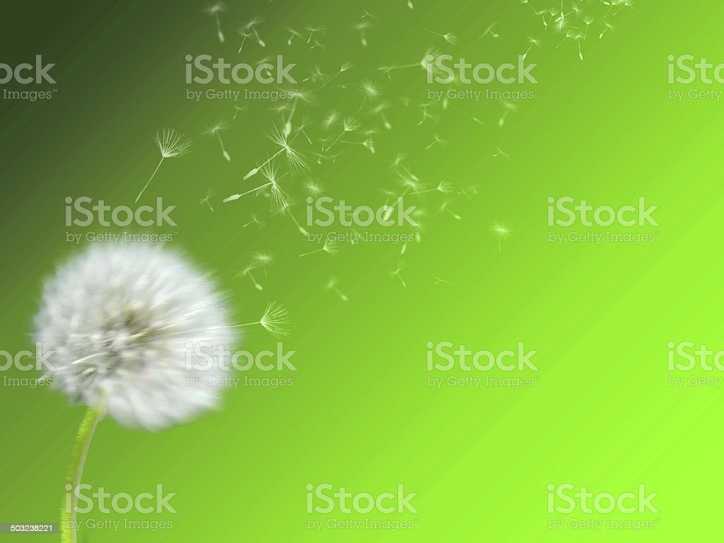 Beautiful, fluffy, white dandelion, blowing wind, flying floret, green background. stock photo