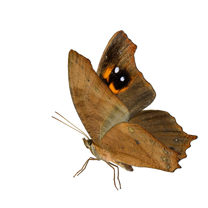 istock Beautiful flying Common Evening Brown butterfly (Melanitis leda) fully wings stretched in natural color profile isolated on white background, exotic nature 888692562