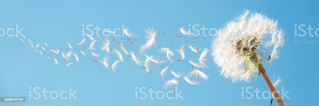 Beautiful flying dandelion seeds in the Wind on blue sky. stock photo