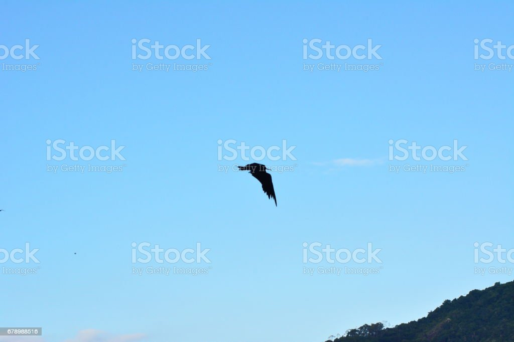 Beau vol du Corbeau marin photo libre de droits