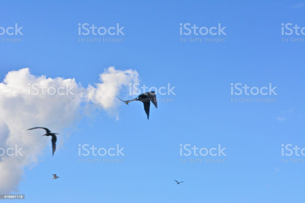 Deniz karga güzel uçan royalty-free stock photo