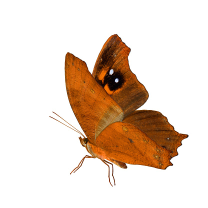 istock Beautiful flying orange butterfly, Common Evening Brown in fancy color fully wings stretched isolated on white background 888693014