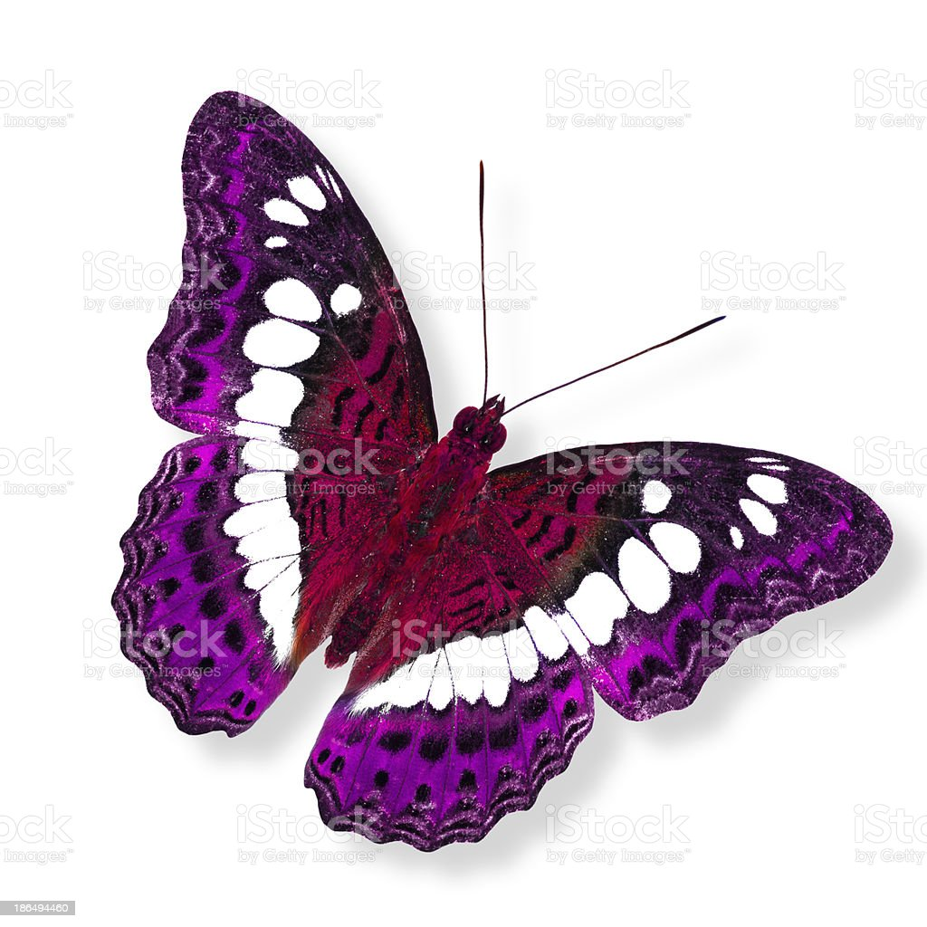 Beautiful flying red and pink butterfly in fancy color royalty-free stock photo
