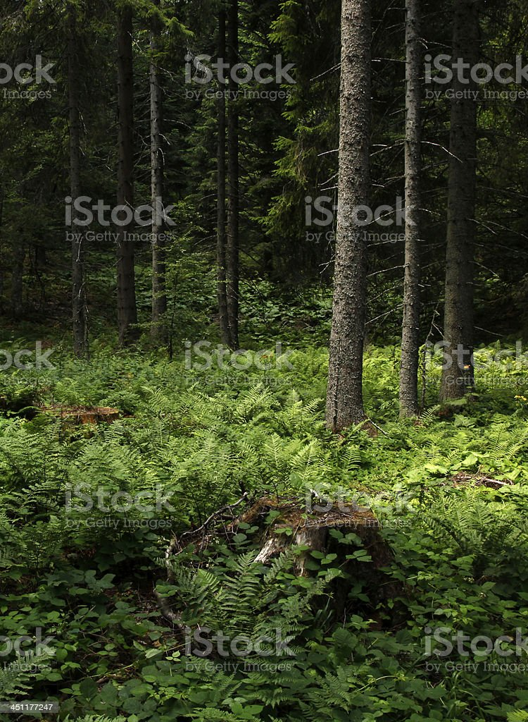 Beautiful forest clearing with stump and fern stock photo