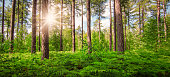 Panoramic view of Belgian forest with sunshine trough the tall pine trees. Wide image with green ferns into the woods on a beautiful summer day. Merode forest in Averbode, Scherpenheuvel Zichem, Flemish Brabant, Belgium.