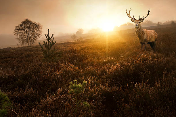 Beautiful forest landscape with red deer stag stock photo