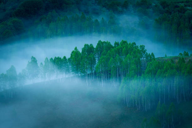 A beautiful forest of birch trees seen in the morning with lot of fog in the scene in a quiet place in Dumesti, Salciua de Sus, Alba County, Romania stock photo
