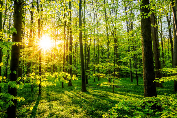 Beautiful forest Sunset in the forest at springtime glade stock pictures, royalty-free photos & images