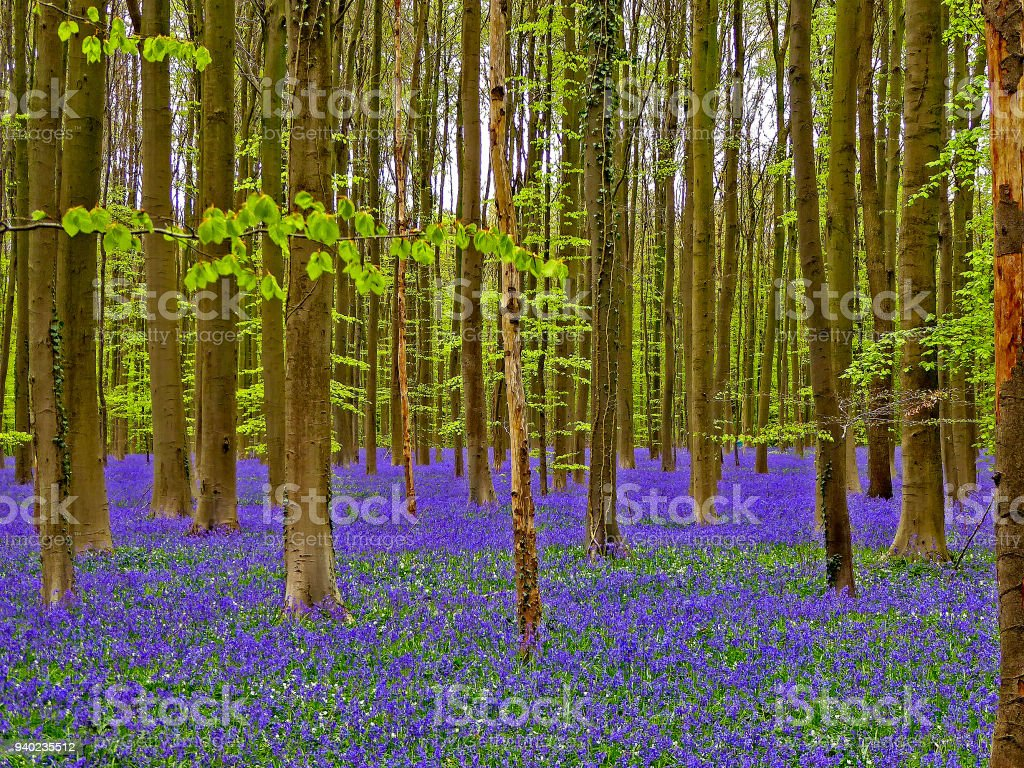 Beautiful Forest With Bluebells Wood Flowers Stock Photo More