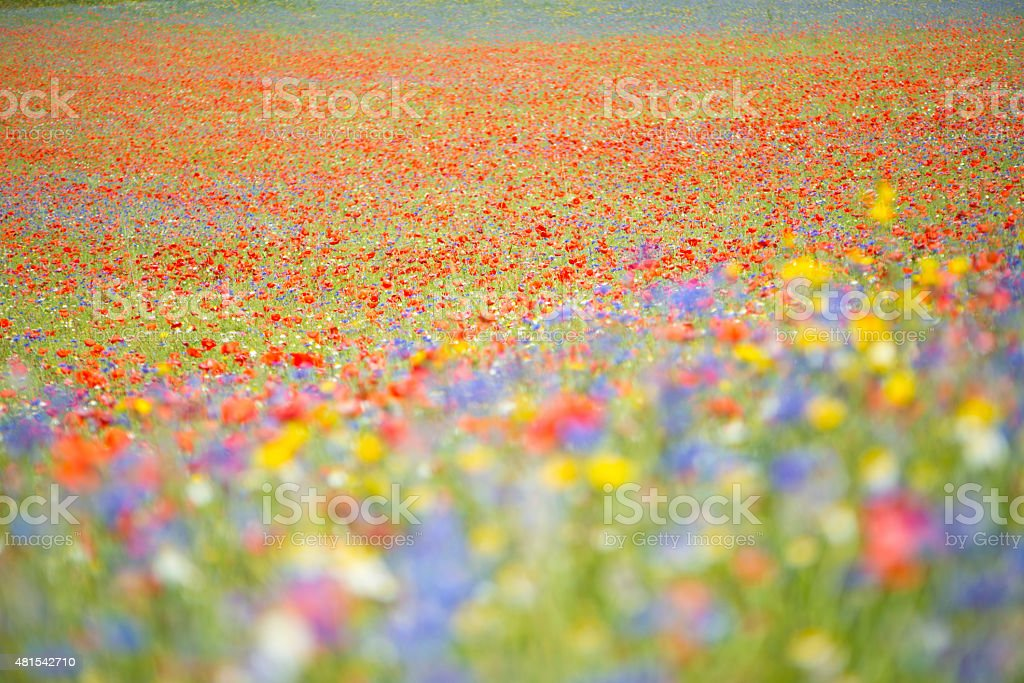 Beautiful Fower Field with Poppies, Castelluccio, Umbria, Italy stock photo