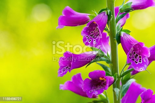 Beautiful foxglove (Digitalis purpurea) in the garden
