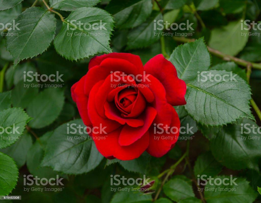 Photo libre de droit de Beau Jardin De Fleurs Odorantes Rose ...