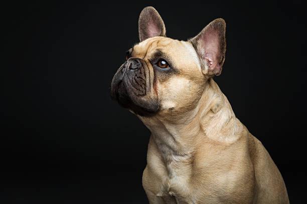 Beautiful french bulldog dog – zdjęcie