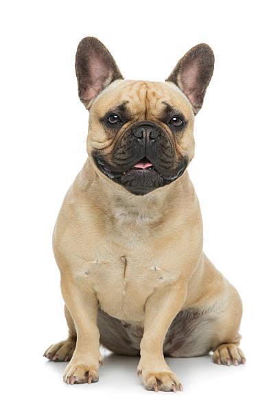 Piękny pies Buldog francuski – zdjęcie