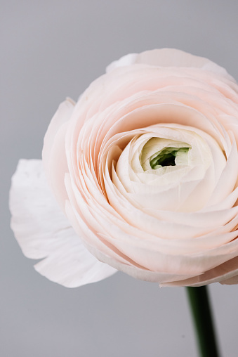 Beautiful fresh blossoming tender pink Ranunculus single flower on the grey wall background, close up view
