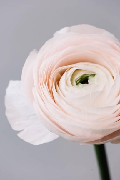 Beautiful fresh blossoming tender pink ranunculus single flower on picture id992834164?b=1&k=6&m=992834164&s=612x612&w=0&h=poj bt97ffy iie6hcutc7vbvvymf6 i7uazigntbqs=