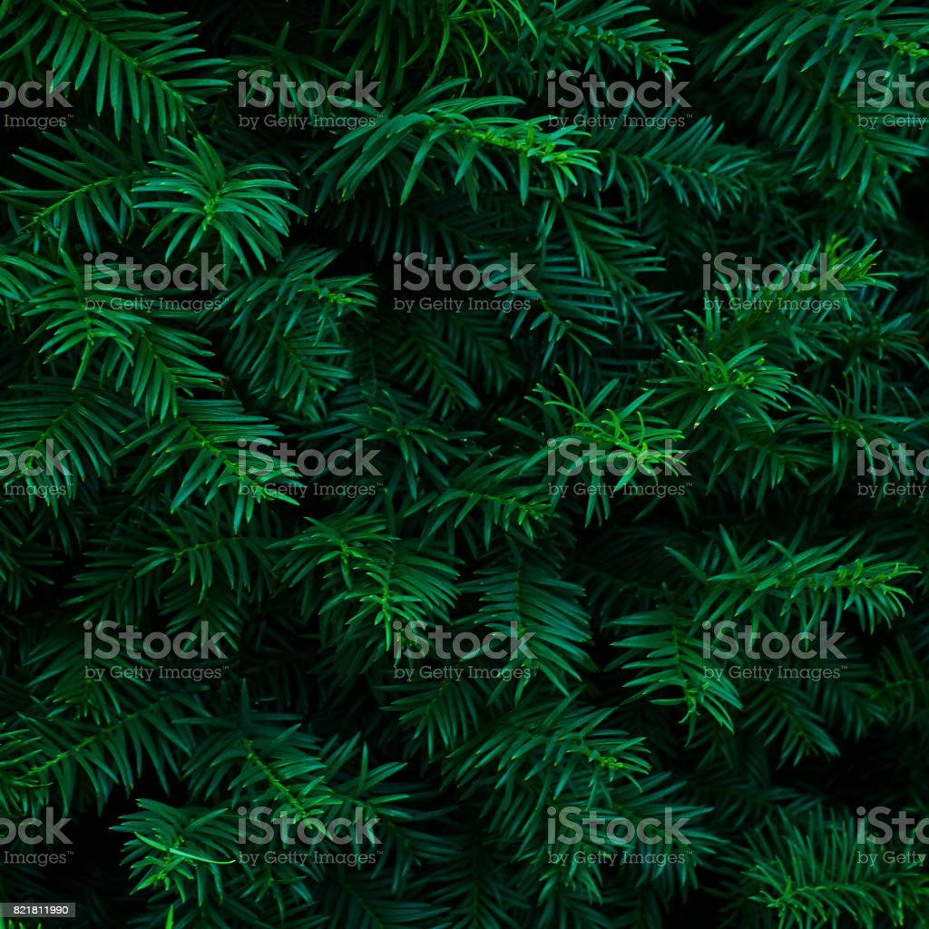 Beautiful fresh blue green natural christmas tree stock photo