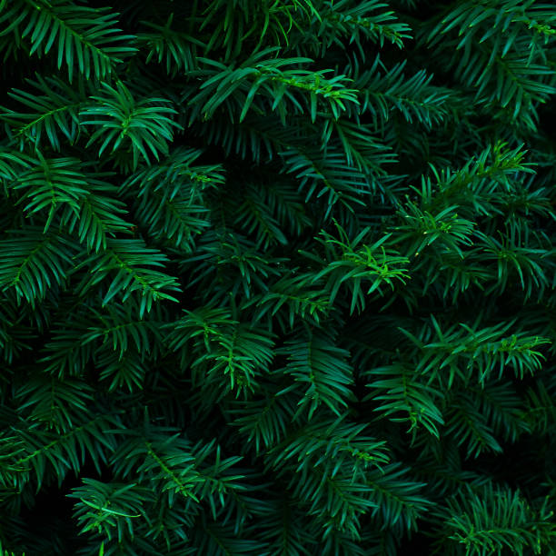 beautiful fresh blue green natural christmas tree - christmas green stock photos and pictures