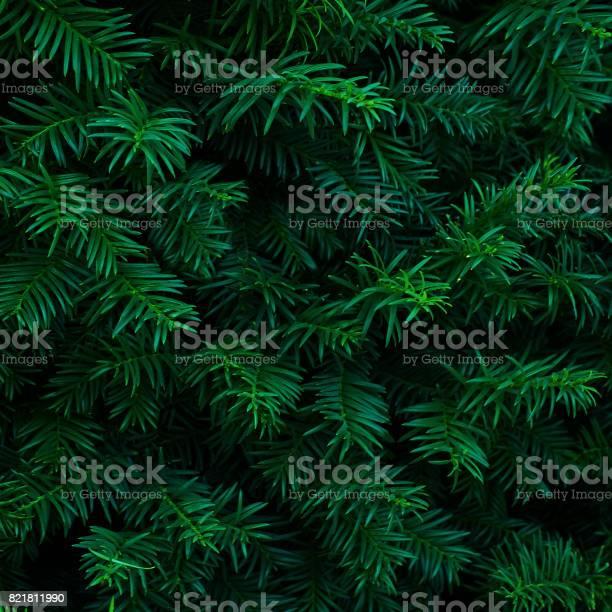 Photo of Beautiful fresh blue green natural christmas tree