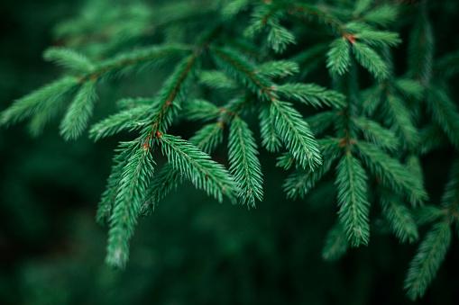 Beautiful fresh blue green natural christmas tree