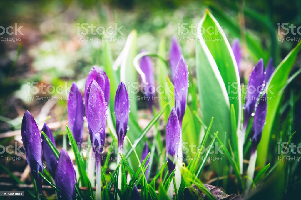 Beautiful fresh bunch of purple color crocus small flowers in bud opening in spring season in march under sunlight on ground with wet plant due to morning dew stock photo