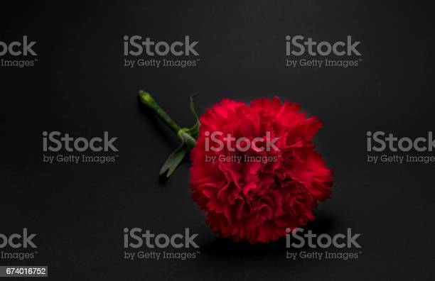 Beautiful fresh carnation flower on black background picture id674016752?b=1&k=6&m=674016752&s=612x612&h=a i0uxdnq4jpwpheza33d4cnmsiukjlkfzr4ccncwas=