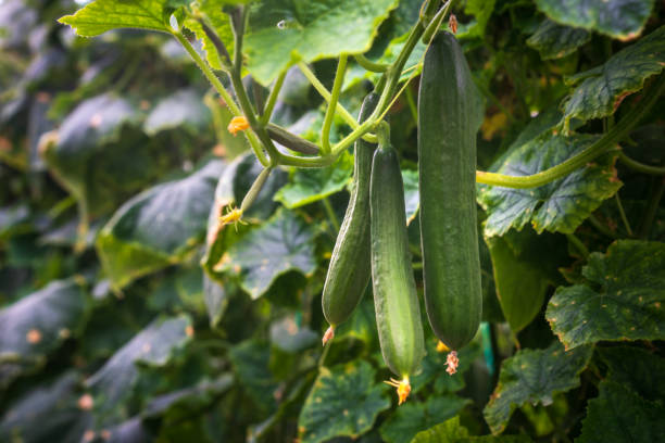 Beautiful fresh cucumber grown in the greenhouse stock photo