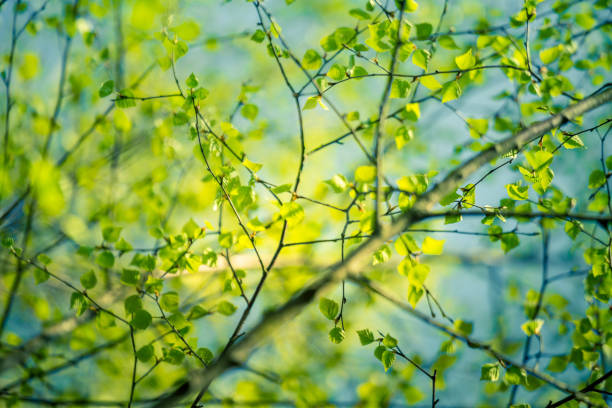 A beautiful, fresh green birch tree leaves in the spring day. stock photo