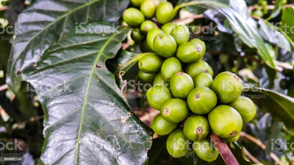 Beautiful fresh green coffee beans on tree branch stock photo