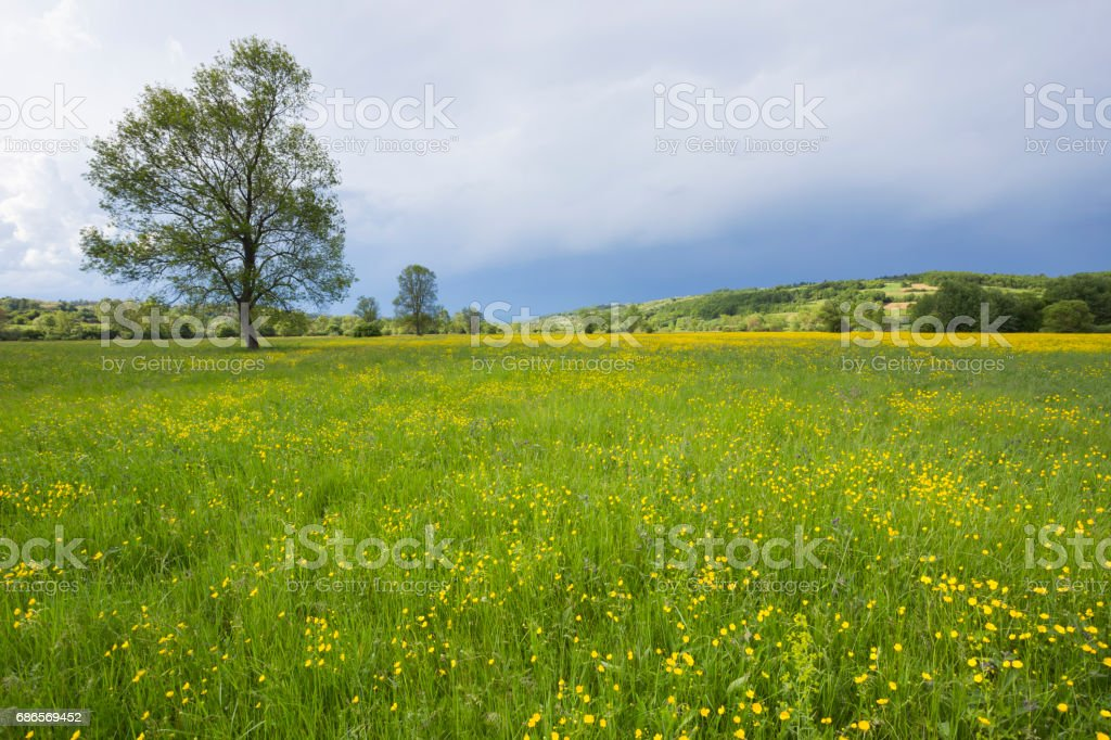 Beautiful fresh green grass meadow with yellow wild flowers foto stock royalty-free
