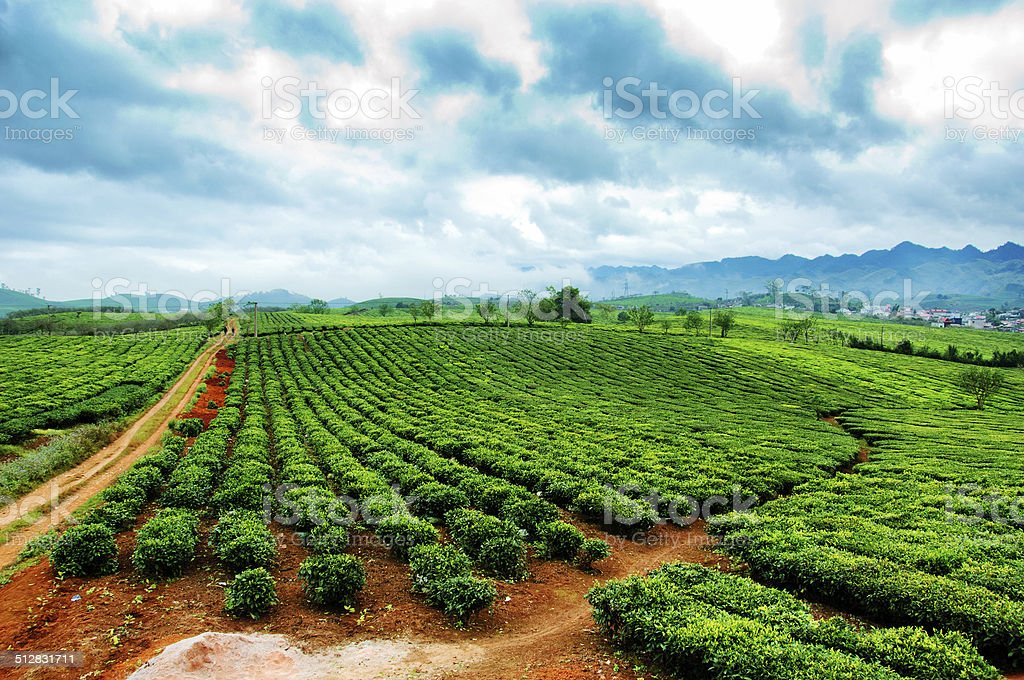 Beautiful fresh green tea plantation in Moc chau, Vietnam. stock photo