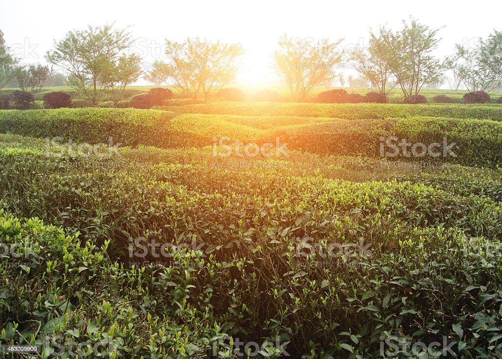 Beautiful fresh green tea plantation stock photo