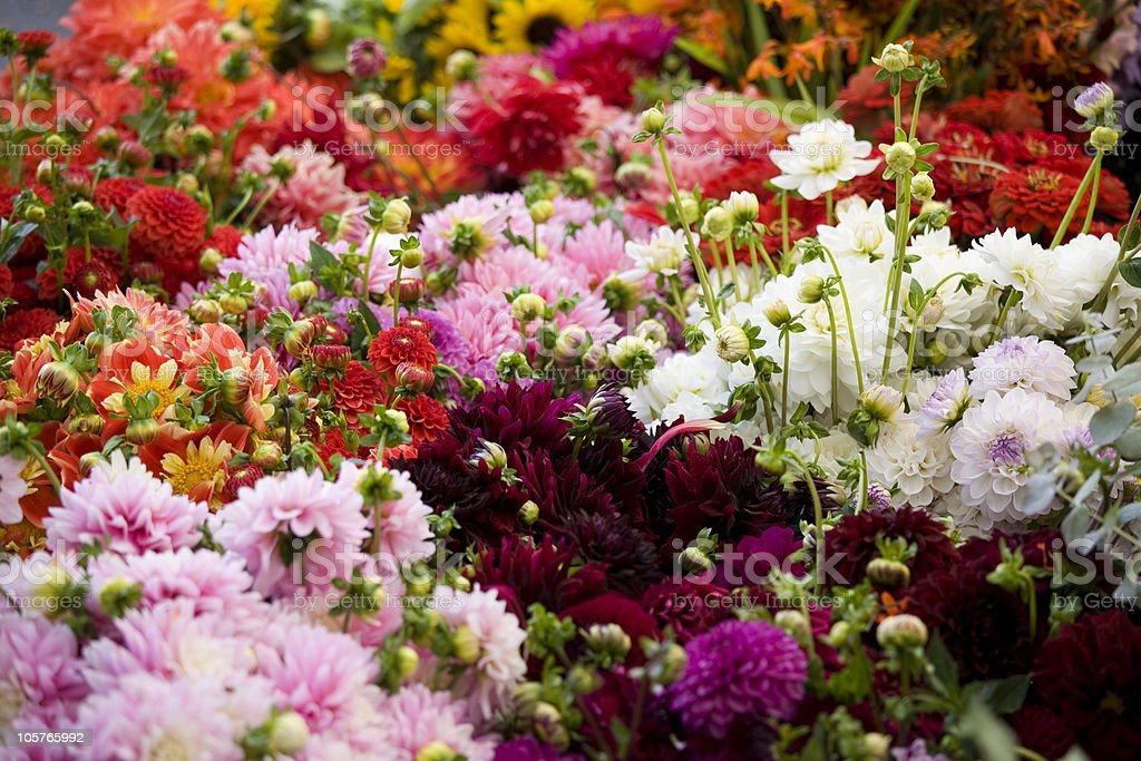 Beautiful fresh mums at an outdoor market stock photo