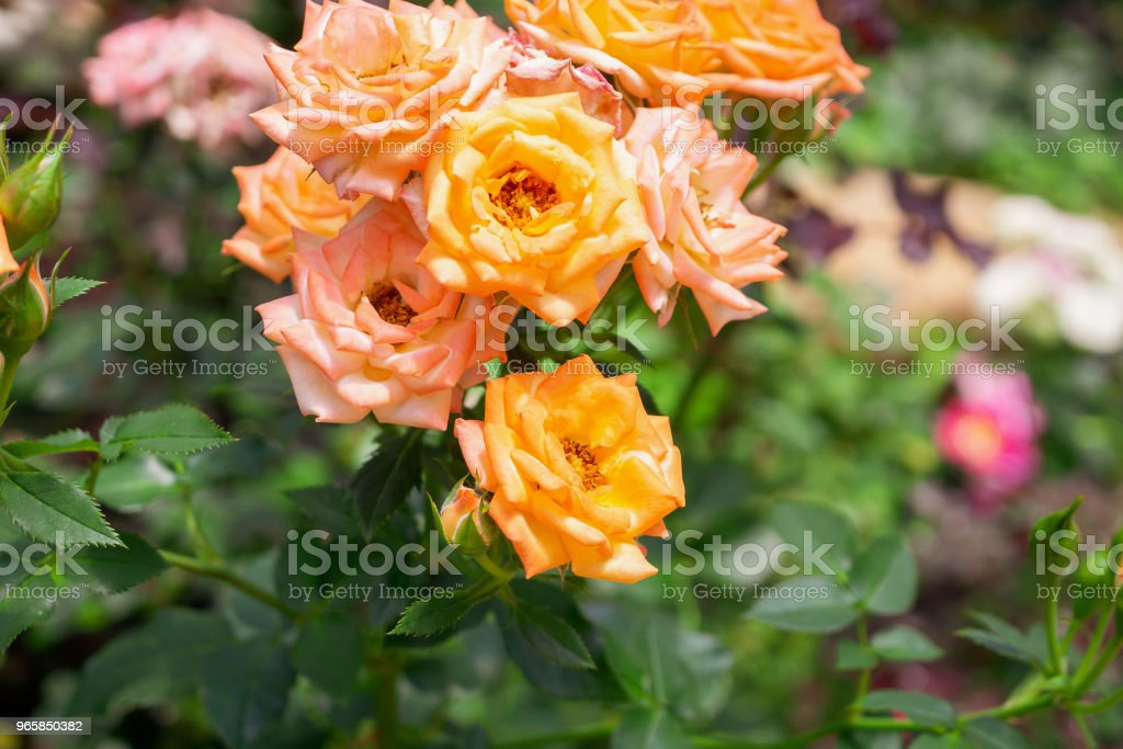 Beautiful fresh natural roses in flower garden - Royalty-free Backgrounds Stock Photo