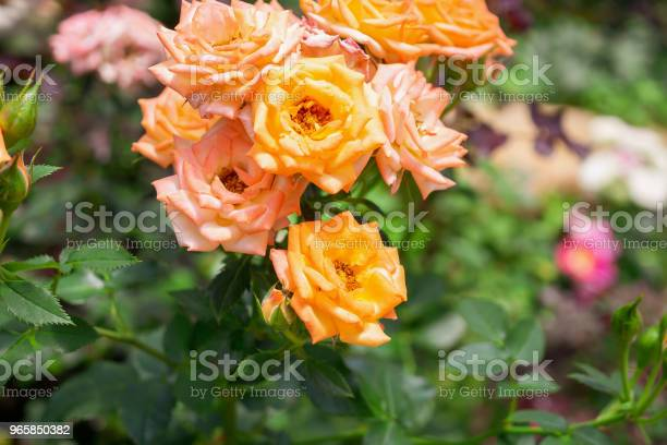 Beautiful Fresh Natural Roses In Flower Garden Stock Photo - Download Image Now