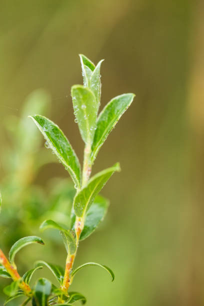 Beautiful, fresh, vibrant leaves of a bog myrtle after the rain. stock photo
