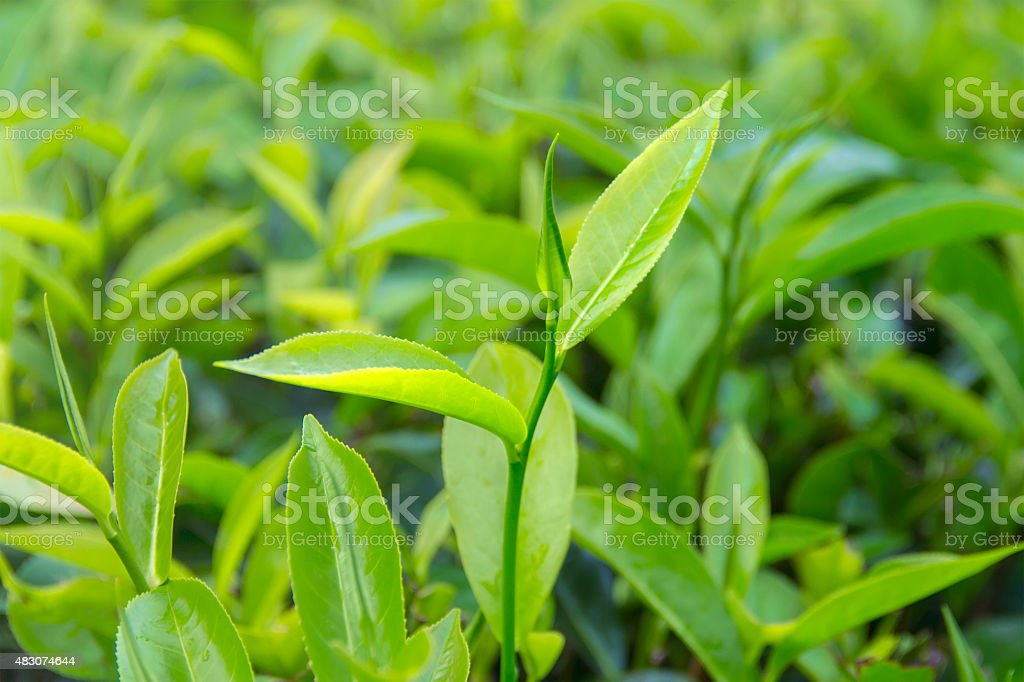 Beautiful freshly picked green tea leaves stock photo