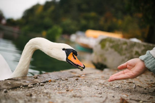 A beautiful, friendly male swan being fed by a female hand near the water. stock photo