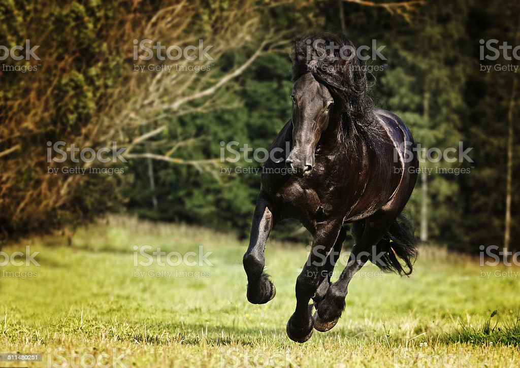beautiful friesian horse stallion running in nature stock photo