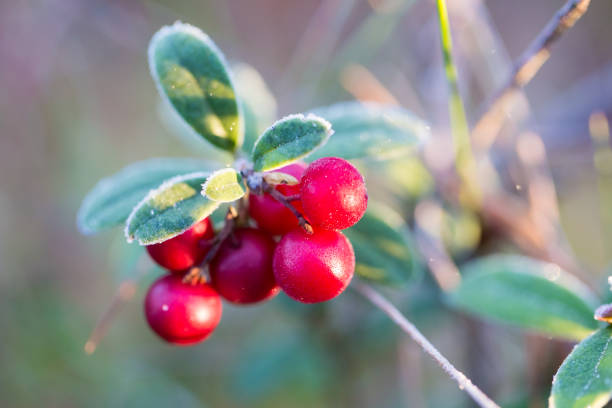 A beautiful frozen cranberries in a morning wetlands. Healthy food. Closeup with shallow depth of field. stock photo
