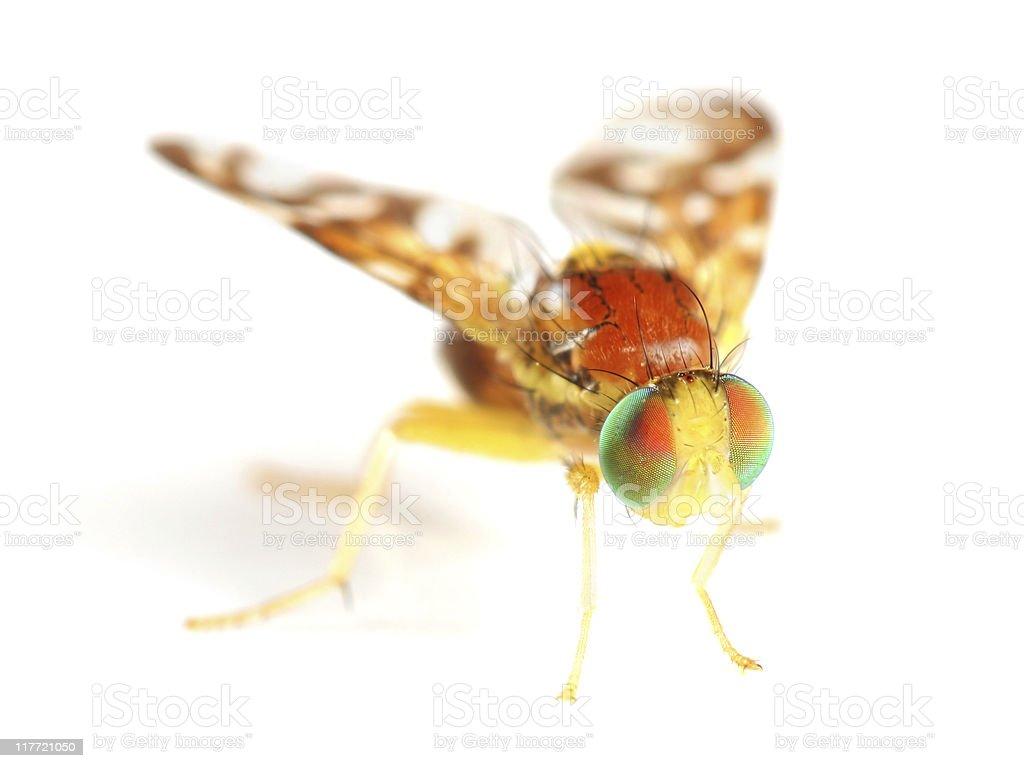 Beautiful Fruit Fly stock photo